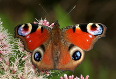 Colourful Peacock Butterfly Stock Image