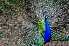 A colourful peacock with its feathers opened wide Royalty Free Stock Image