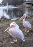 Colourful pelicans by the lake in St James`s Park, London UK. royalty free stock photography
