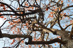 Colourful persimmon tree on blue sky Royalty Free Stock Photography