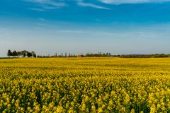 Yellow canola field on usedom royalty free stock image
