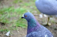 Colourful pidgeon on pond shore close up. Photo stock photography