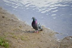 Colourful pidgeon on pond shore. Close up royalty free stock photography