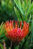 Colourful pincushion protea obraz royalty free
