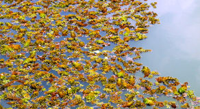 Colourful Plants. In the pond Royalty Free Stock Photography
