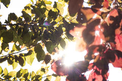 Colourful plum tree branches under the sun Stock Photography
