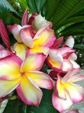 Colourful plumeria flower stock image