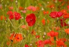 Colourful poppies. Poppies growing wild in a field Royalty Free Stock Photos