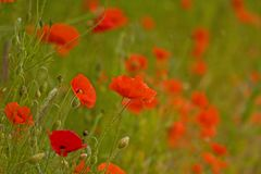 Colourful poppies Royalty Free Stock Images