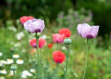Colourful poppies in a herbaceous border at Eastcote House Gardens, historic walled garden, London UK