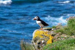 Scotland, colourful Puffin/Puffins at the coast of Treshnish Isles Stock Images