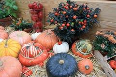 Pumpkins, turban squash, nightshade, plants, at harvest festival royalty free stock photo