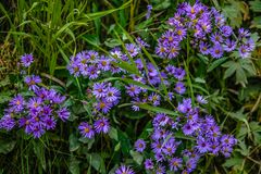Colourful purple fall aster wildflowers. In a meadow, Banff National Park, Alberta, Canada royalty free stock photos