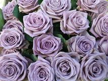 Colourful Purple Roses with lovely flowers Royalty Free Stock Image