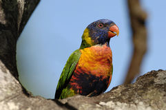 Colourful Rainbow Lorikeet Royalty Free Stock Photos