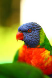 Colourful rainbow lorikeet Royalty Free Stock Image