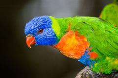 Colourful Rainbow Lorikeet. A closeup shot of a Rainbow Lorikeet. Focus on head with feathers blurred stock image