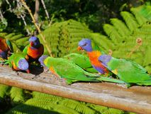 Colourful rainbow lorikeet Stock Image