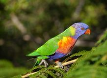 A colourful rainbow lorikeet Stock Photo