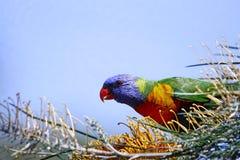 Colourful rainbow lorrikeet. Brightly coloured Australian lorikeet feeding on grevillia flower against plain blue sky.  Iconic Australian bird.  Copy space Stock Photos