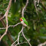 Cuban Tody Stock Photos