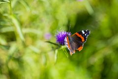 Colourful Red Admiral butterfly on Centaurea Scabiosa Knapweed f Stock Image