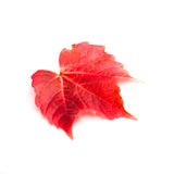 Colourful red autumn leaf Stock Photo