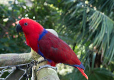 Colourful red and blue  parrot  on the perch Stock Photography