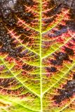 Colourful red leaf in autumn, Germany Stock Photography