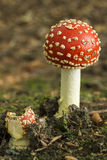 Colourful red/white Fly Agaric mushroom in forest in the autumn in the Netherlands Royalty Free Stock Photos