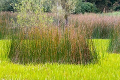 Colourful reeds in pond Royalty Free Stock Photography