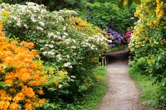Colourful Rhododendrons in the Rhododendron Wood near Leith Hill Place in Surrey, UK line a footpath stock images