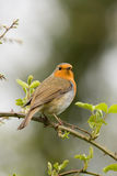 Colourful robin. Bright coloured robin sitting high in branch Royalty Free Stock Photography