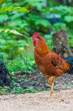 Colourful rooster American Brown Leghorn rooster Royalty Free Stock Photo