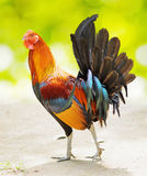 Colourful rooster walking in a farm Stock Photo