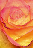 Colourful Rosa Zdjęcie Royalty Free