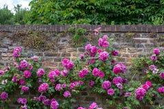 Roses at Eastcote House Gardens, historic walled garden in Eastcote, Pinner, UKgdon, UK