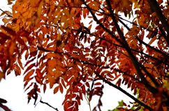 Colourful rowan tree with snow in late autumn Royalty Free Stock Photography