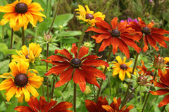 Colourful Rubika Flowers. Strongly coloured Rubika flowers in sunny bed Royalty Free Stock Photo