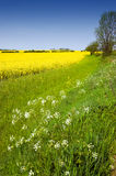 Colourful Rural Landscape. Rural english landscape of golden yellow rapeseed and cow parsley in a green field on farmland royalty free stock images