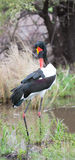 Colourful saddle billed stork grooming itself in a pond Stock Photo