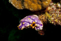 Colourful sea squirt Royalty Free Stock Photos