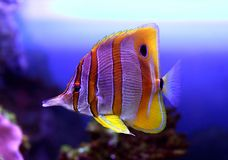 Colourful Sixspine butterfly-fish. Floats in an aquarium Royalty Free Stock Images