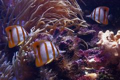 Colourful Sixspine butterfly-fish. It is very colourful photo of the underwater world Stock Photos