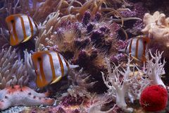 Colourful Sixspine butterfly-fish and starfish. It is very colourful photo of the underwater world Stock Images