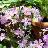 Vilot little flowers Stock Photography