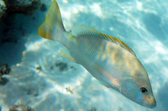 Colourful Snapper. In the Caribbean stock images