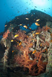 Colourful soft coral growth on a shipwreck. Royalty Free Stock Image