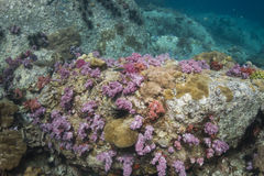 Colourful soft corals (Dendronephthya sp.) Royalty Free Stock Photos