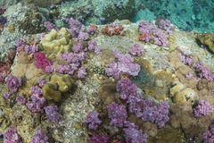 Colourful soft corals (Dendronephthya sp.) Stock Photography